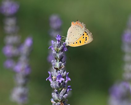 Butterfly, Insect, Close Up, Nature, Garden, Lavender