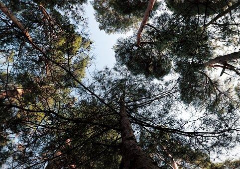 Tree, Branch, Leaf, Sky, Pine, Cedar, Early Spring