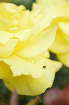 Rose, Flower, Romantic, Nature, Garden, Fragrance