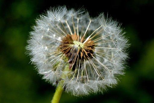 Dandelion, Seeds, Spring, Close Up