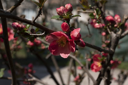 Spring, Japanese Quince, Bush