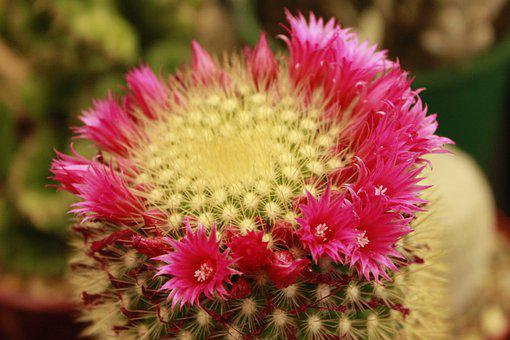 Cactus, Plants, Flower, Succulent, Green, Nature, Home