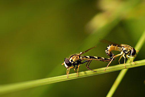 Insect, Hoverfly, Reproduction, Close Up, Wing