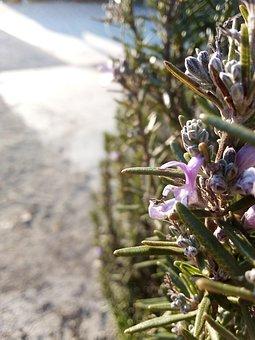 Rosemary, Bees, Nature, Pollination, Honey, Garden