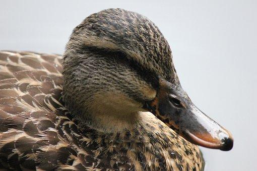 Duck, Bird, Nature, Animal, Swan, Sky, Plumage, Mallard