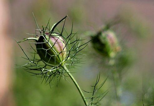 Nigella Damascena, Juffertje In Het Groen, Seed Box