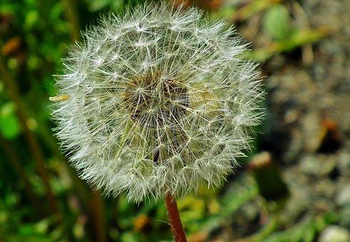 Sonchus Oleraceus, Plant, Nature, Spring, Closeup, Nuns