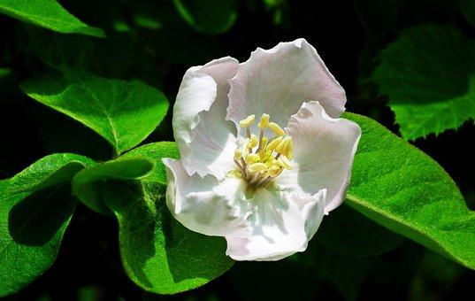 Quince, Flower Spring, Garden, Plant, Nature, Bush