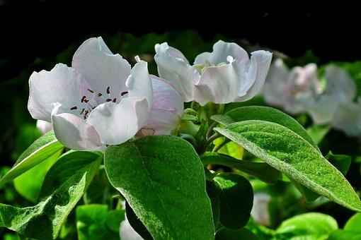 Quince, Flowers, Spring, Garden, Nature, Plants