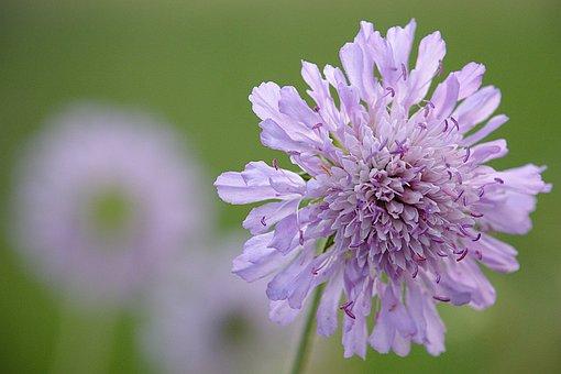 Widow Flower, Flower, Purple, Spring