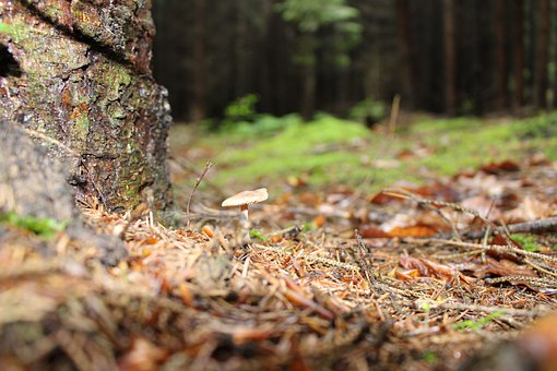 Mushroom, Forest, Forest Floor, Leaves, Nature, Moss