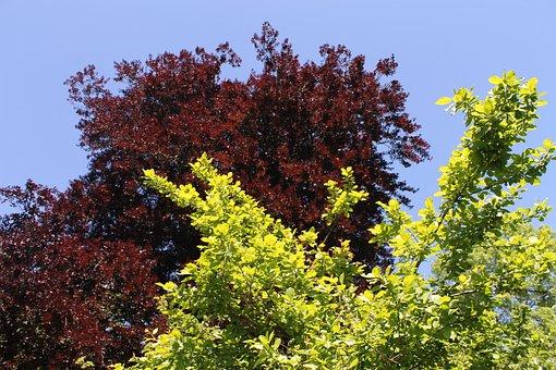 Trees, Purple Beech, Beech