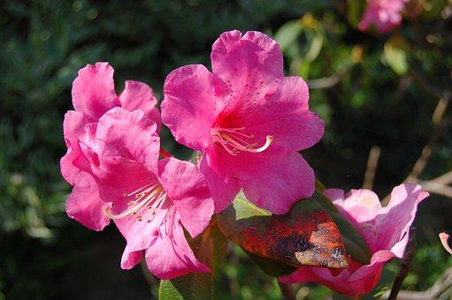 Rhododendron, Flower, Pink, Spring, Garden, Cluster