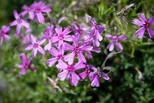 Flower, Flowers, Purple, Violet, Cushion Flower, Garden