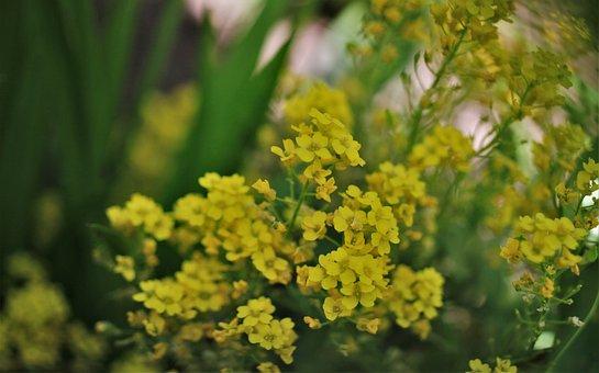Rock Stone Herb, Flowers, Yellow