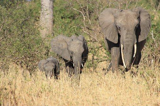 Elephant, Africa, Safari, Nature, Animals, Pachyderm