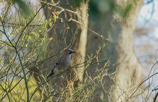 Jay, Wild Bird, Branch, Birds, Nest Building