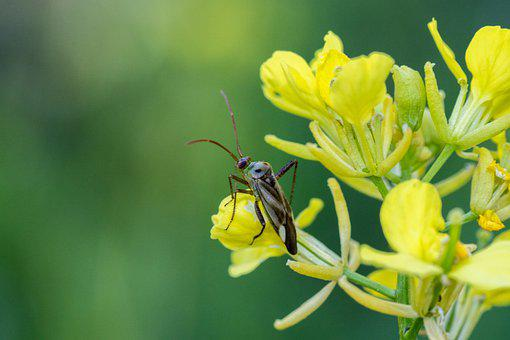 Oilseed Rape, Yellow, Leaf Bug, Macro, Close Up