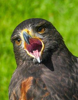 Harris Hawk, Harris, Hawk, Bird, Raptor, Falconry