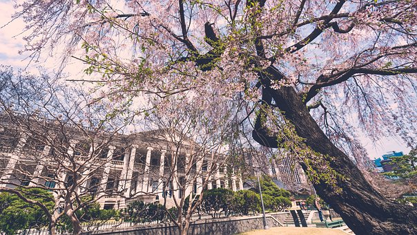 Spring, Cherryblossom, Sakura, Pink, Korea, Blossom