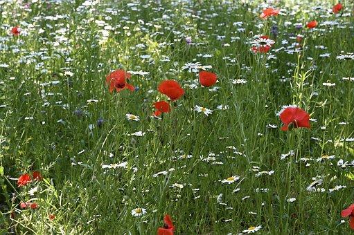 Flower Meadow, Daisy, Poppy, Meadow, Grass, Wildflowers