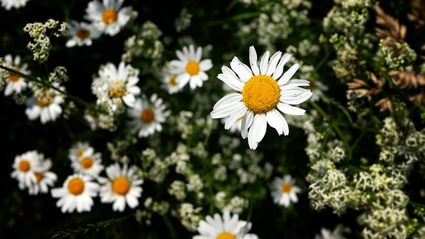 Daisy, Field Flowers, Nature, Flora, Petals, Plants