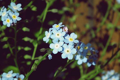 Nots, Flowers, Blue, Spring, Garden, Nature