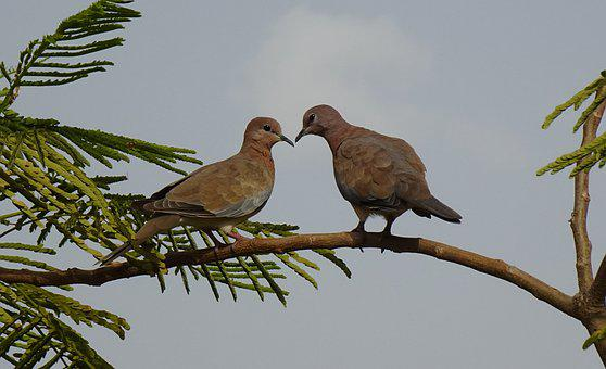 Dove, Bird, Laughing Dove, Little Brown Dove, Pair