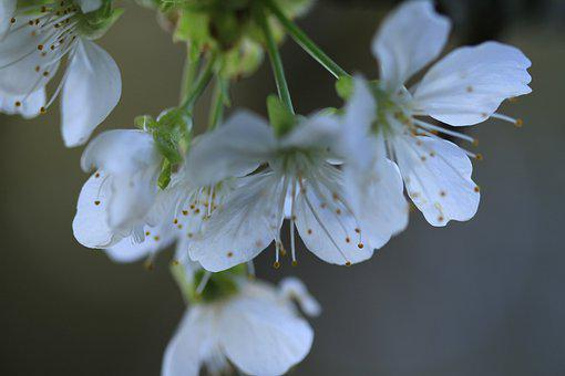Flowers, Bell Tree, White, Spring, Petals