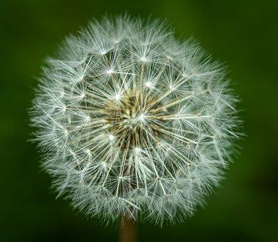 Dandelion, Seeds, Spread, Spring, Nature, Close Up