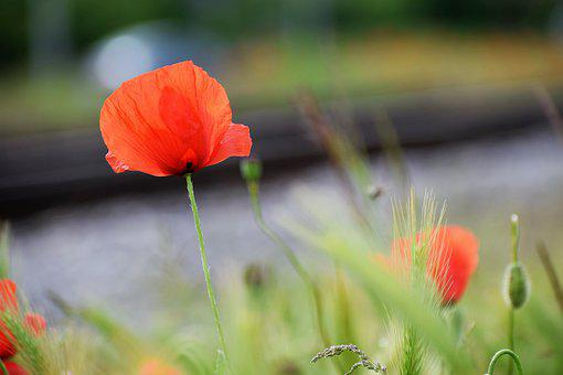 Red Poppies, Flower, Spring, Meadow