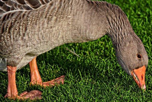 Goose, Birds, Aquatic, Nature, Field