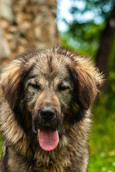 Dog, Guard Dog, Animal, Domestic, Pet, Nature