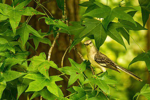 Bird, Mockingbird, Northern Mockingbird
