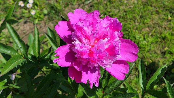 Peony, Flower, Pink, Plant, Flora, Garden, Figure