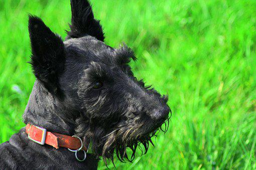 Scottish Terrier, Dog, Scottie, Playful