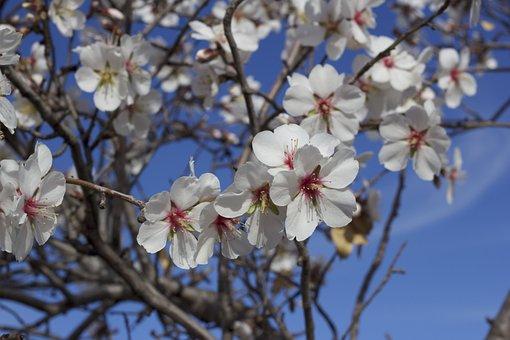 Flower, Almond Tree, Nature, Almond Flower