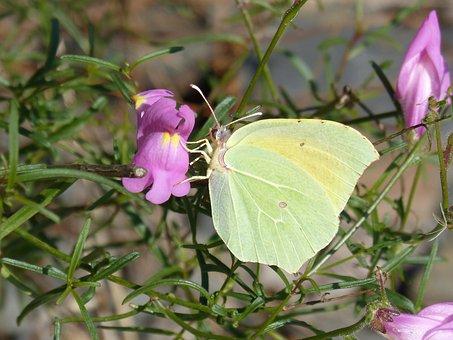 Butterfly, Cleopatra, Gonepteryx Cleopatra, Flower