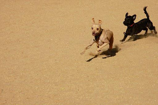 Dogs, Play, Chase, Sandy, Pursuit, Crazy, Canine