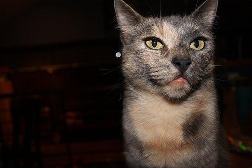 Cat, Angry, Tortoiseshell, Domestic, Face, Animal