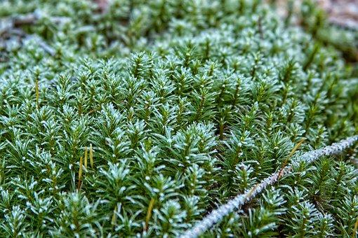 Moss, Forest, Frost, Green, Nature, Moss Fliegenpilz