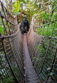Monkey, Gorilla, Image Overlay, Ape, Silverback