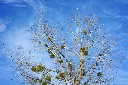 Mistletoe, Halbschmarotzer, Tree Parasite, Green