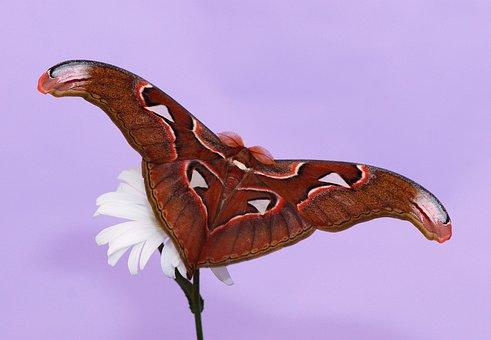 Butterfly, Atlas Moth, Moth, Attacus Atlas