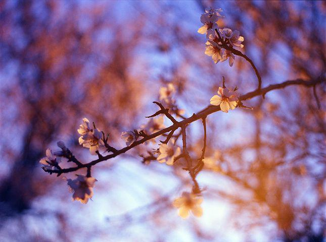 Almond Blossom, Purple, Sunset, Nature, White, Spring