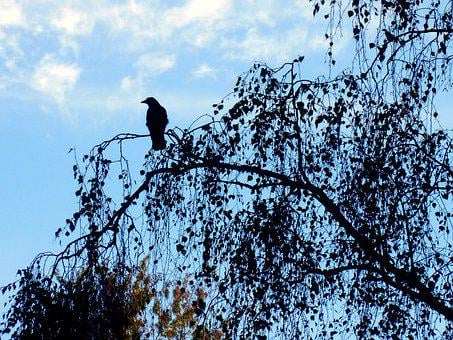 Crow, Black, Bird, Plumage, Raven Bird, Silent, Fly