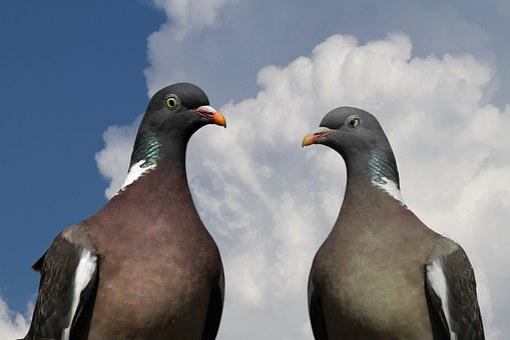 Pigeons, Pigeon Pair, Ringdove, Bird, Nature, Clouds