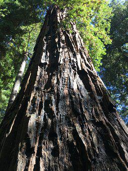 Redwoods, Forest, Giant Trees, California, Old, Sequoia