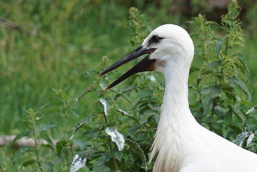 White Stork, Stork, Close Up, Face, Bill, Eyes, Neck
