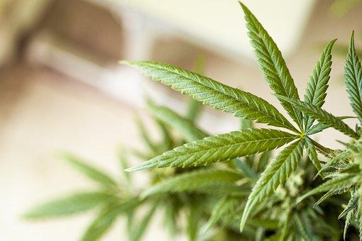 Cannabis, Weed, Pot, Ganja, Hemp, Marijuana, Drug